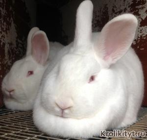 Кролики НЗБ фото