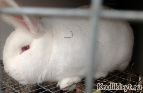 Новозеландский белый кролик фото